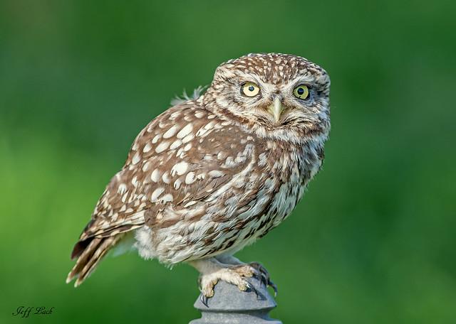 DSC3545  Little Owl...