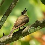 Rusty-margined Flycatcher - Darien - Panama CD5A8707