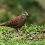 Ruddy Ground-Dove - Darien - Panama CD5A8758