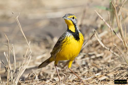 macronyxcroceus macronyx croceus yellowthroatedlongclaw yellowthroated longclaw krugernationalpark kruger southafrica leastconcern