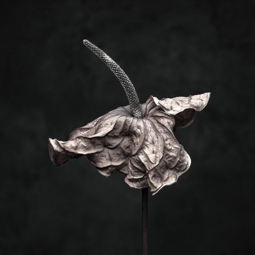 Dry Anthurium