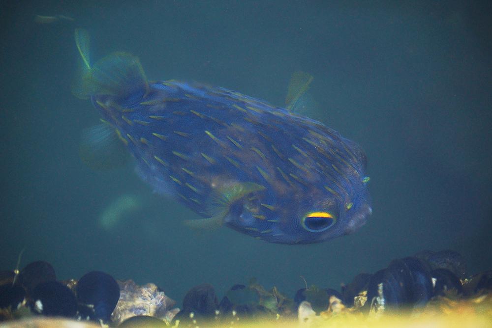 _puffer_fish_Salamanka_wharf_Hobart_1_