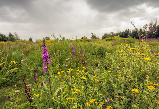 Purple Loosestrife and yellow flowering Common Fleabane in a nature reserve