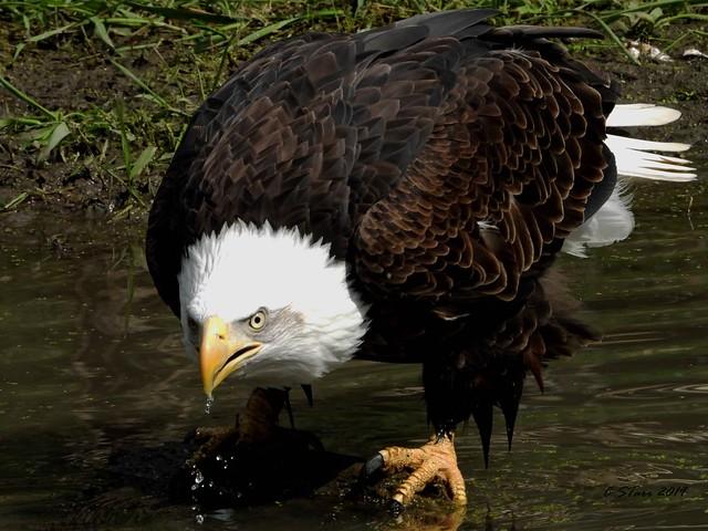 DSCN3349 american bald eagle