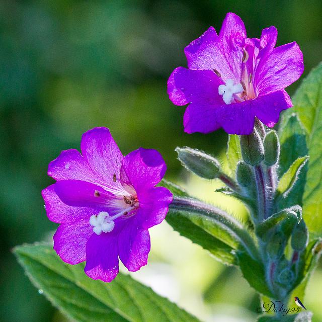 Epilobe à grandes fleurs (Epilobium hirsutum)