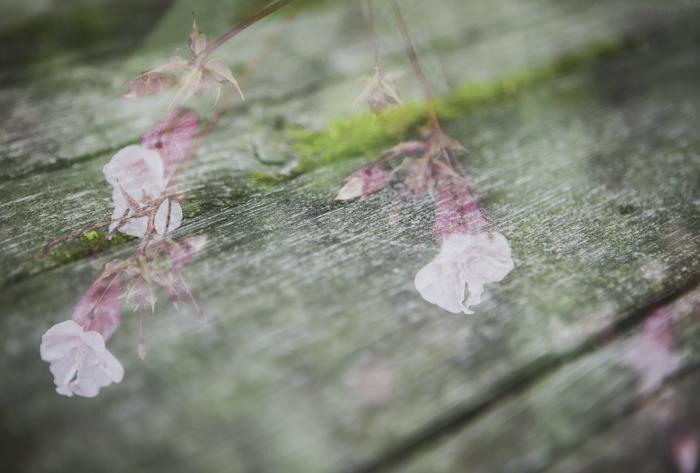 Elokuu vanha hirsirakennus kaksoisvalotus tunnelma kukka