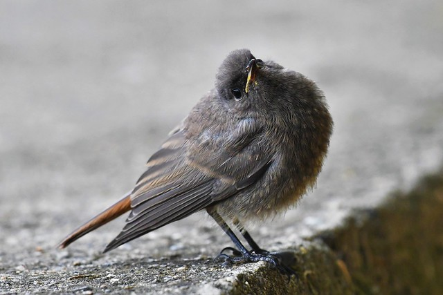 Rouge-queue noir - Phoenicurus ochruros - Black redstart