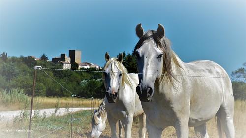 cheval horse camarguais camargue moussac brignon gard occitanie languedocroussillon animal blanc white paysage landscape beautifulview fineart photgraphiedart nikon nature emmanuellebaudry emart netartii hdr