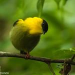 Golden-collared Manakin - Darien - Panama CD5A1281