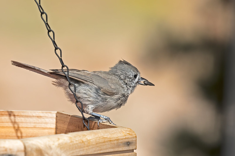 Juniper-Titmouse-32-7D2-072419