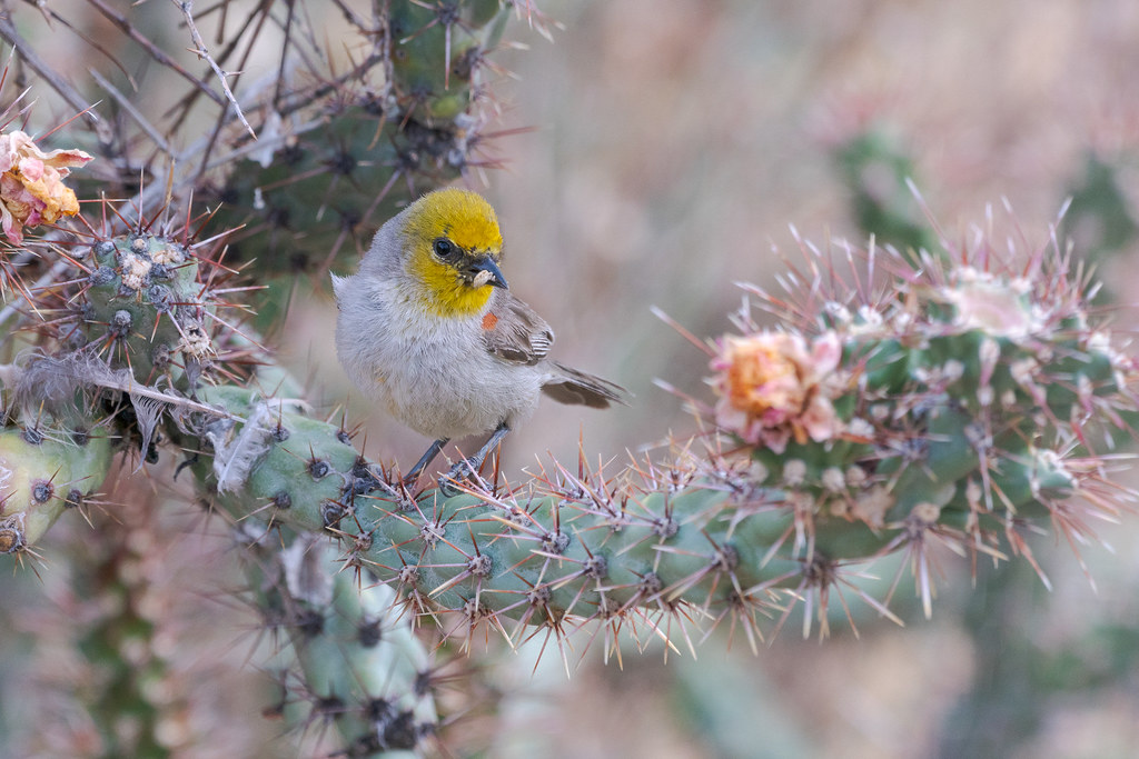 A verdin pauses near its nest in a buckhorn cholla with a spider in its beak, taken from our backyard in Scottsdale, Arizona in May 2019