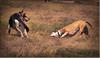 Battle Of The Titans:  Shepherd vs Pit Bull by Romair
