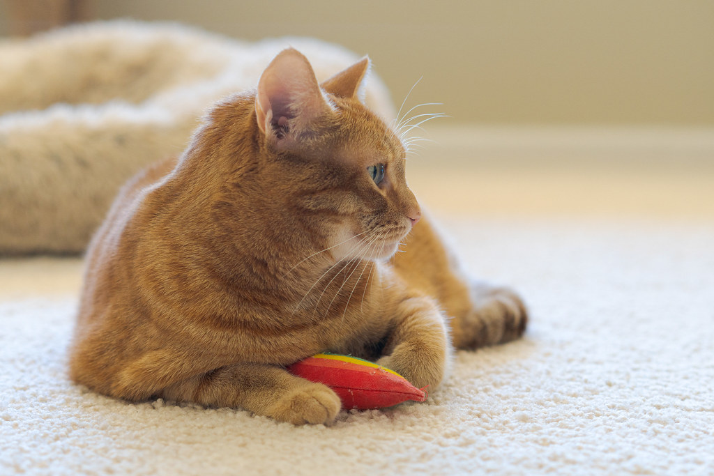 Our cat Sam sits on the living room carpet with the rainbow cat toy between hs front paws in July 2019