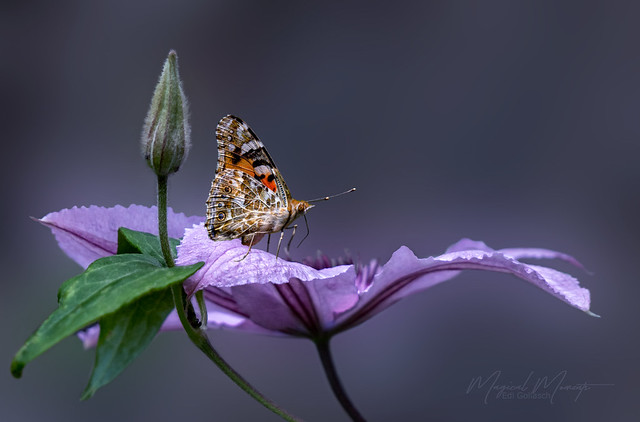 Painted lady on clematis