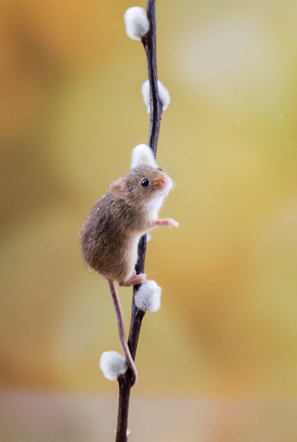 Harvest Mouse Workshop