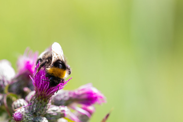 Thistle Bumble