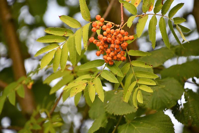 Rowan Tree 03.08.2019