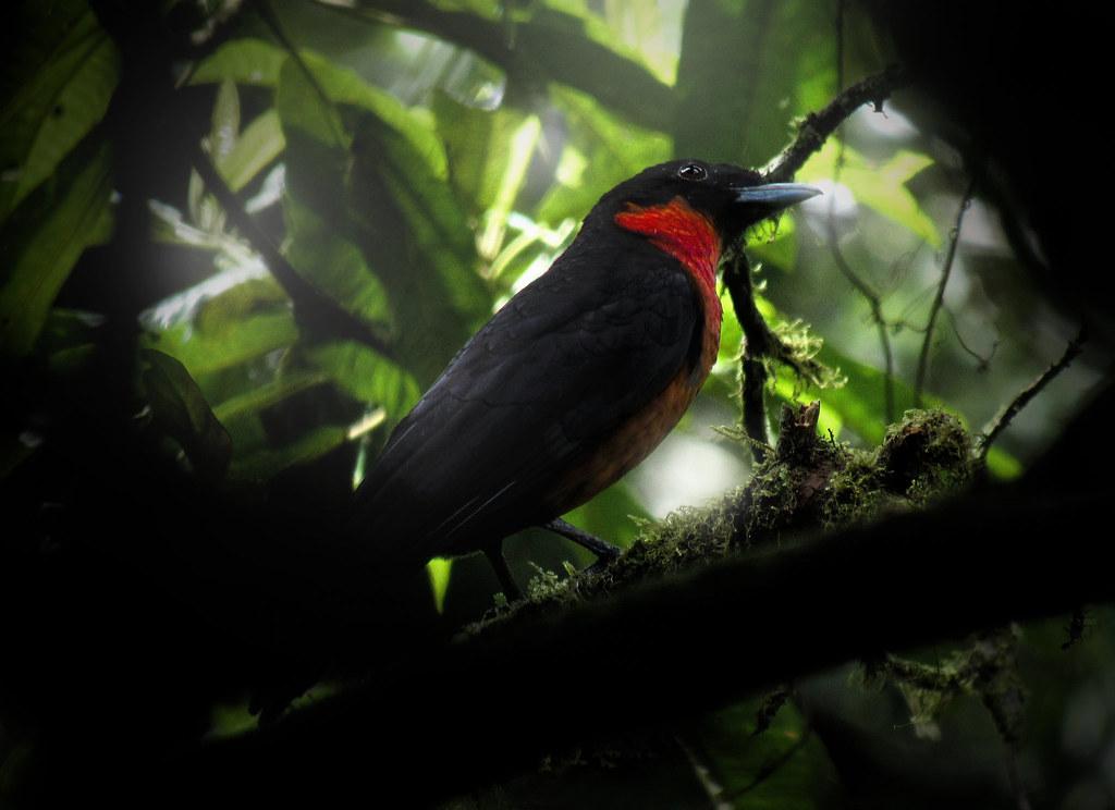 + Toropisco [Pyroderus scutatus] / Red-ruffed Fruitcrow