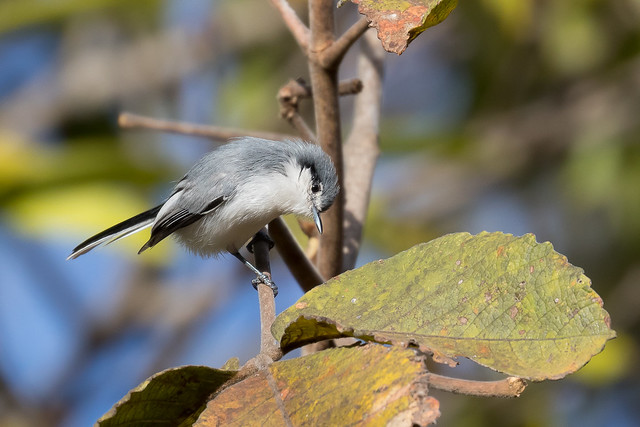 Masked Gnatcatcher (Polioptila dumicola) - female