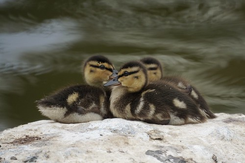 More Baby Ducks