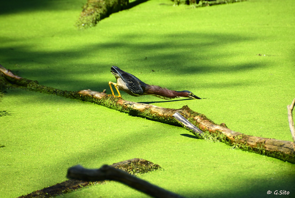 Green Heron Impossible Balancing Act While Fishing.