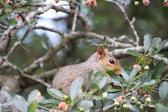 Eastern Grey Squirrels in Loose Park (Kansas City, Missouri) - July 31st & August 3rd, 2019