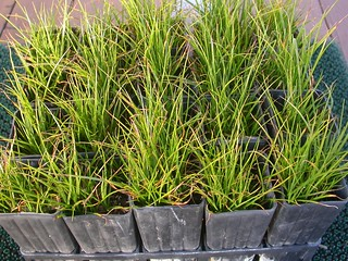 Waiting for a new home: Tall sedge seedlings (W.Pix).