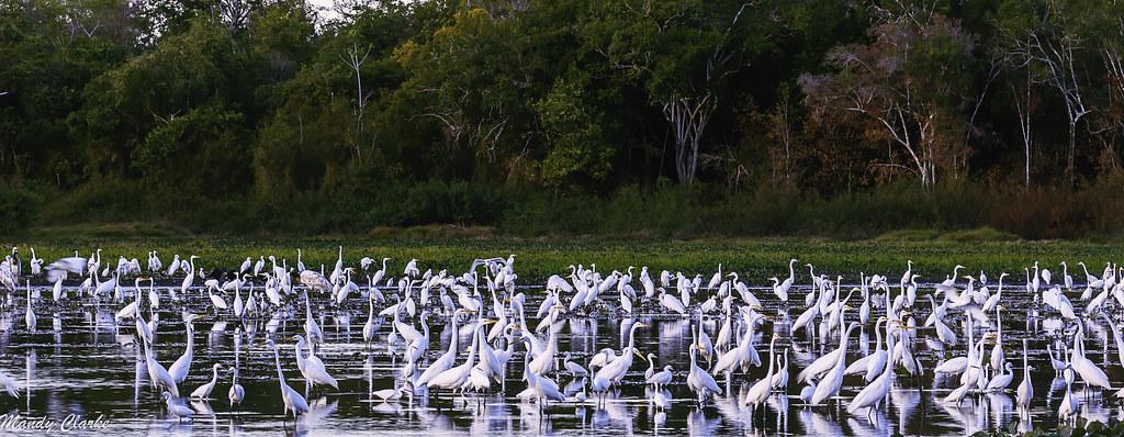 Egrets - Guyana