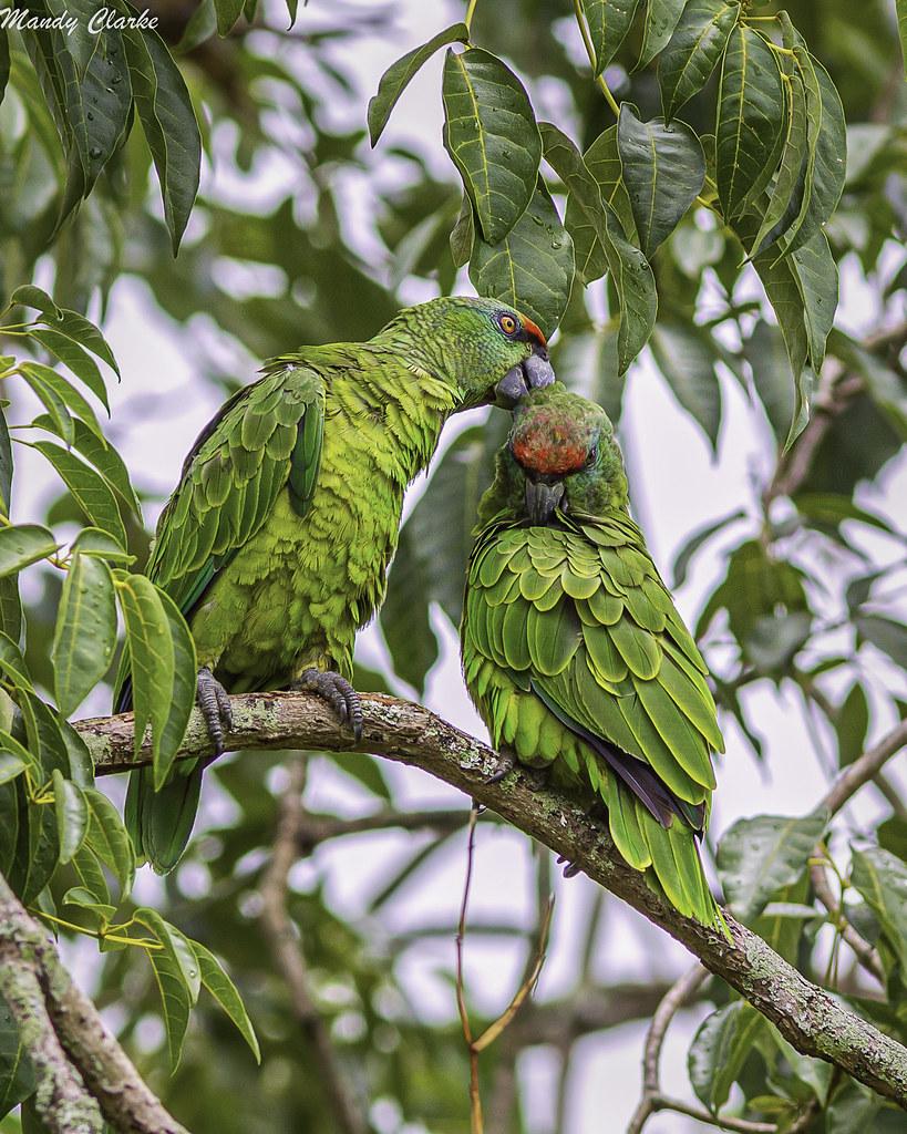 Festive Amazon (Amazona festiva) - Guyana
