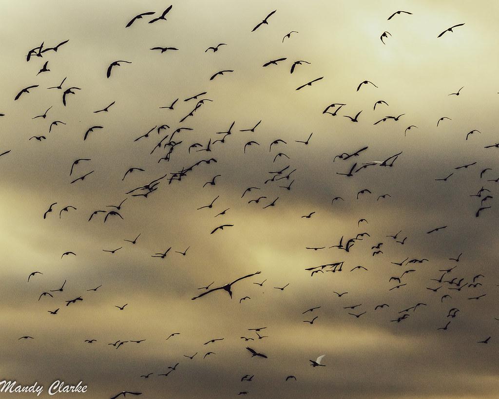Wading birds - Guyana