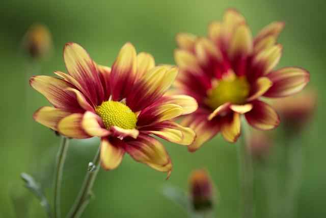 chrysanthemum 5142