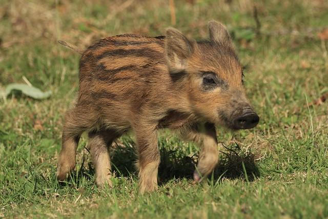 Wild Boar, (Humbug)