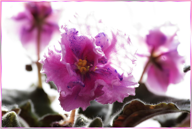 African violet - unknown name