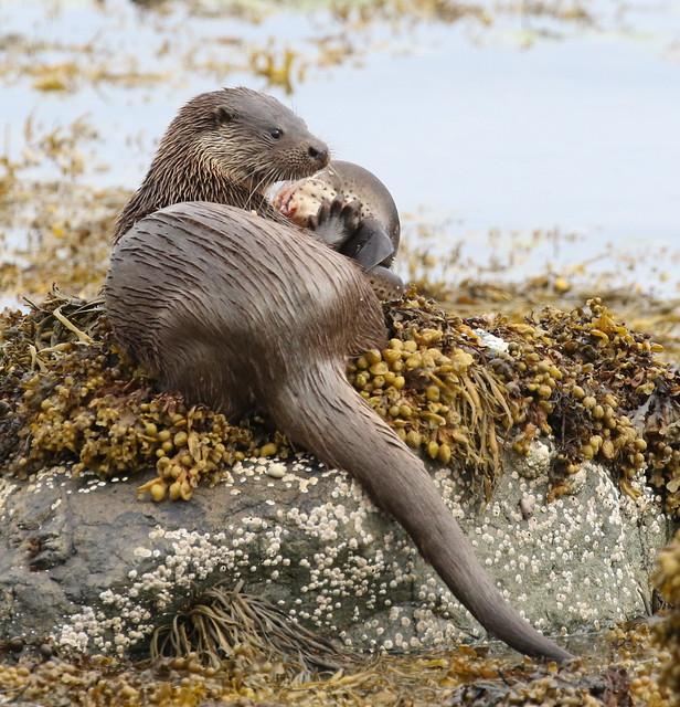 Otter at Croggan with a dogfish