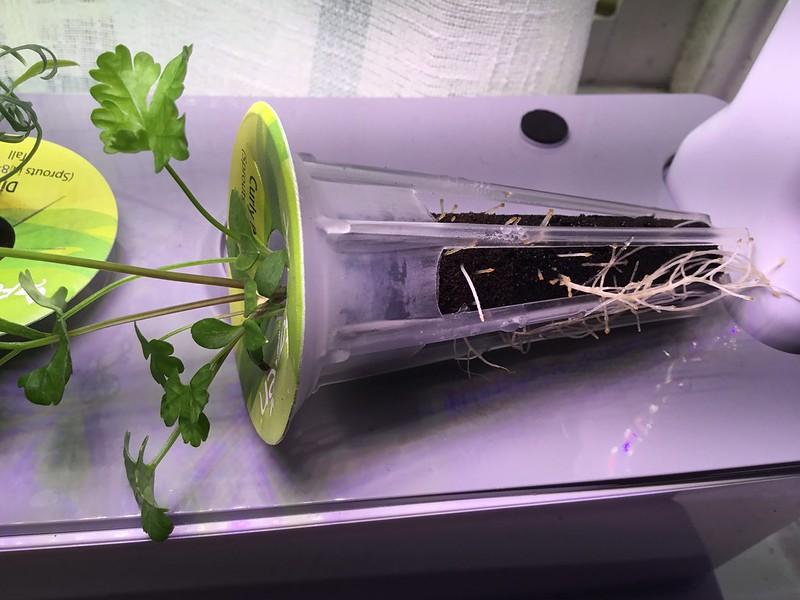 AeroGarden curly parsley seed pod