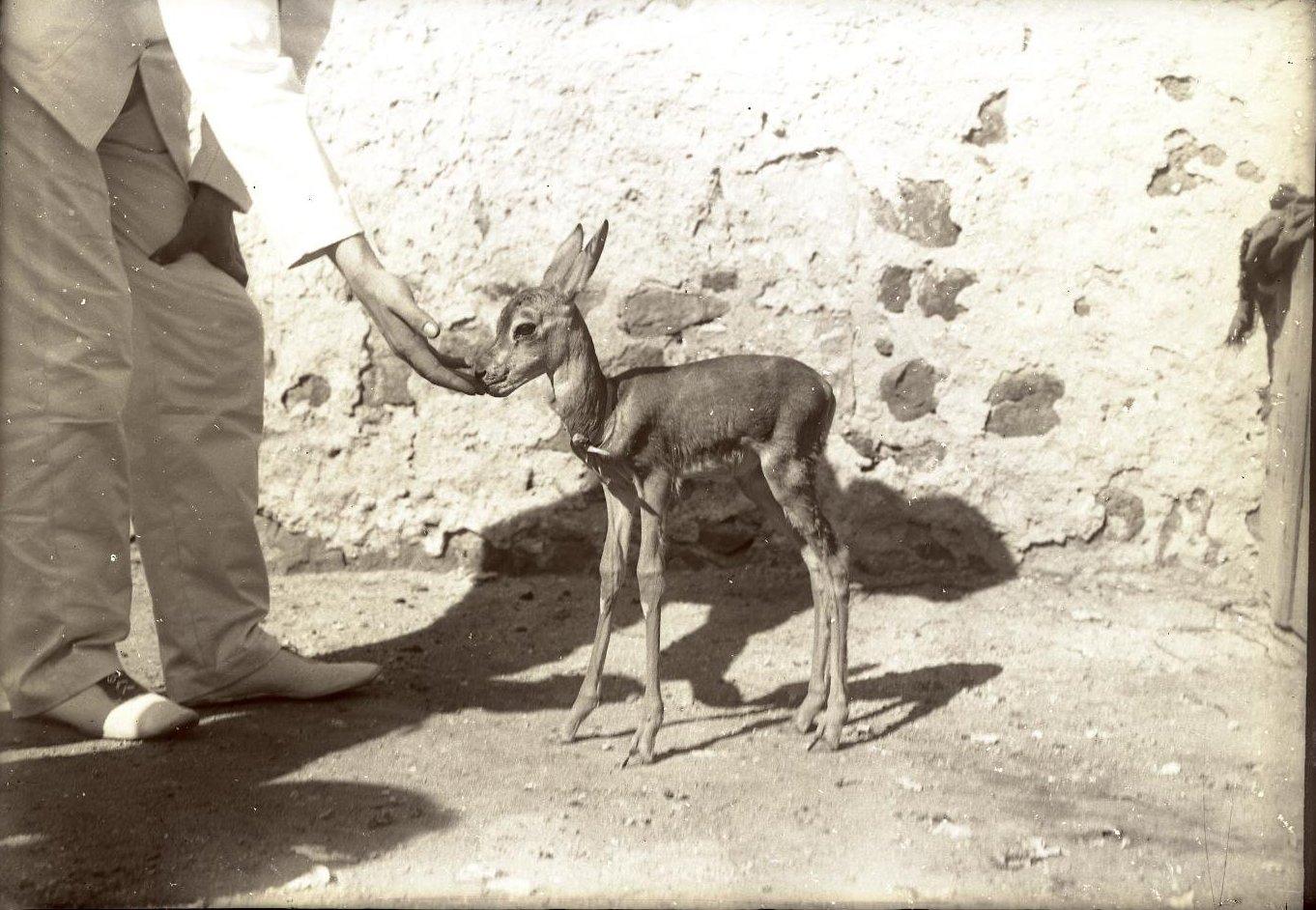 104. Джибути. Маленькая ручная антилопа