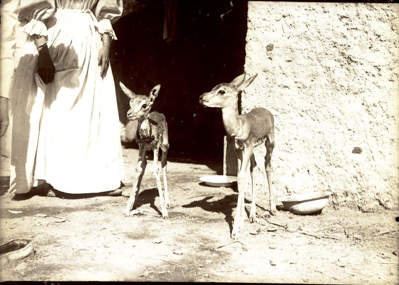 103. Джибути. Маленькие ручные антилопы