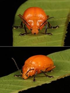 MUGSHOT - Golden Leaf Beetle (Podontia lutea, Chrysomelidae)