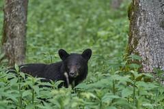 Buddy Bear cub