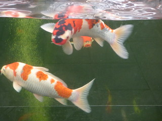 Shirley Aquatics at Beckett's Farm - fish - Butterfly Koi