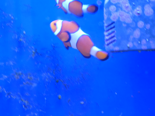 Shirley Aquatics at Beckett's Farm - fish - Clownfish