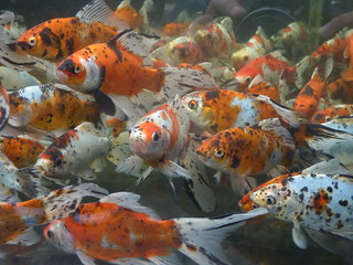 Shirley Aquatics at Beckett's Farm - fish - Koi