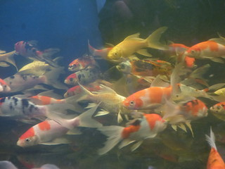 Shirley Aquatics at Beckett's Farm - fish - Comet and Butterfly Koi