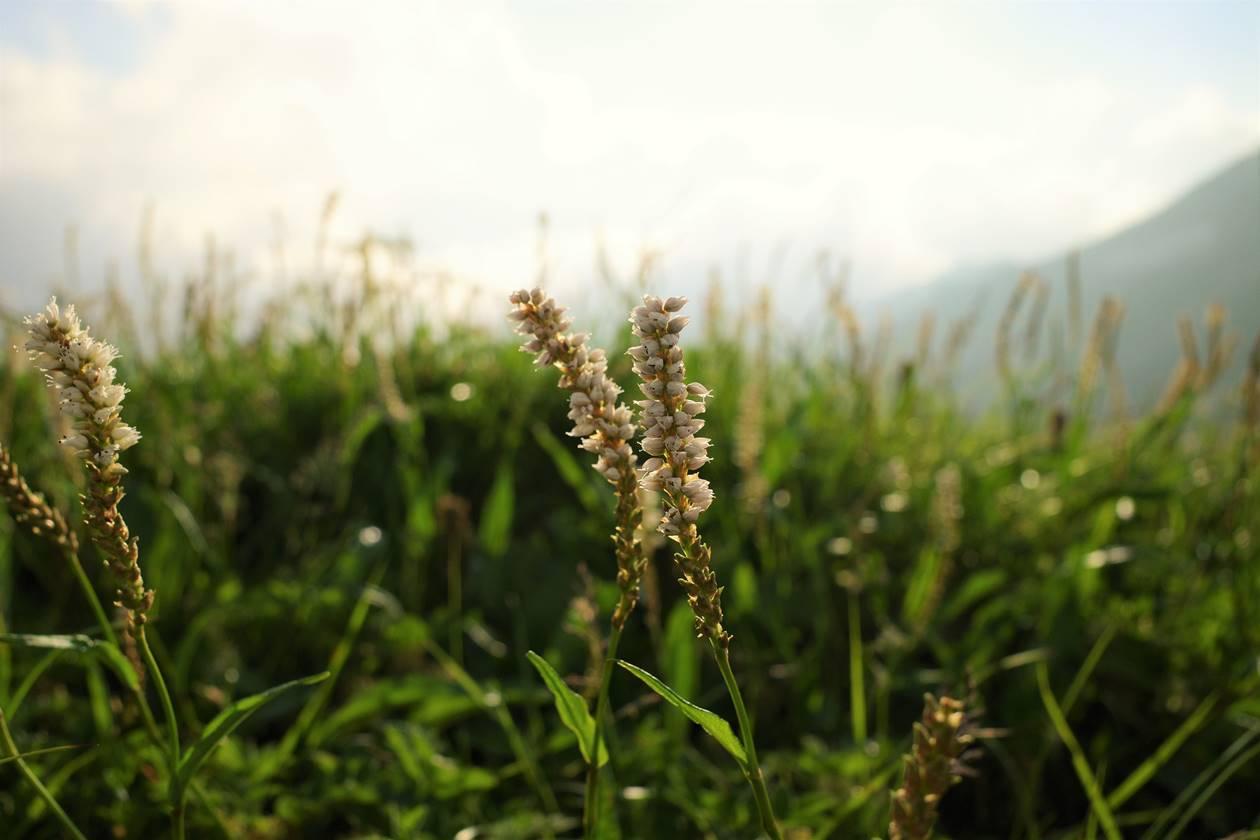 白馬岳の花
