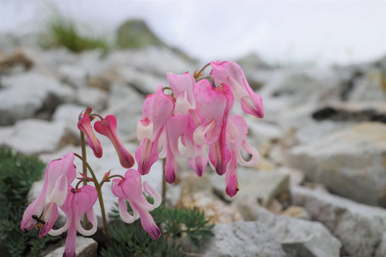高山植物の女王・コマクサ