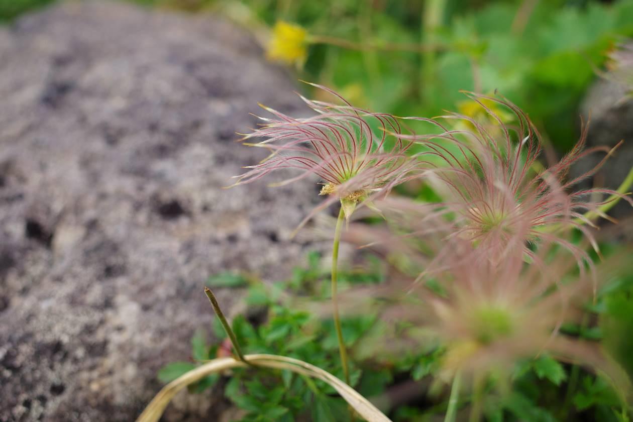 チングルマの穂