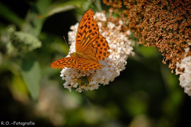 Schmetterling / Butterfly