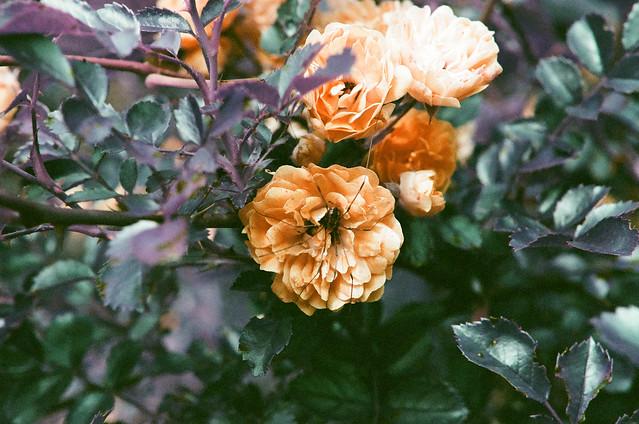 wild roses, spider