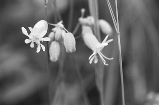 bladder campion | by sumacandmilkweed
