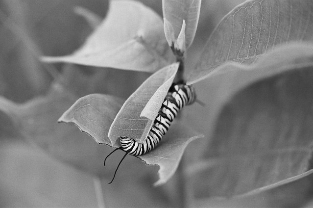 caterpillar on milkweed